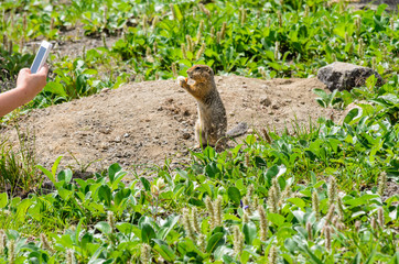 gopher in the green grass.