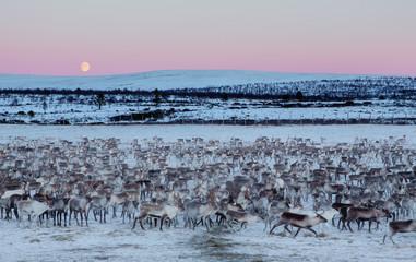 Herd of reindeer, Finland