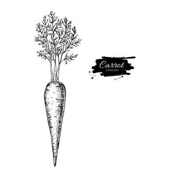 Carrot hand drawn vector illustration. Isolated Vegetable engrav