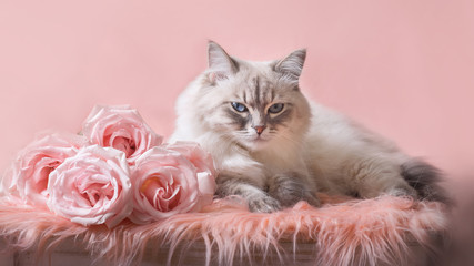 Neva Masquerade (Siberian) cat with roses