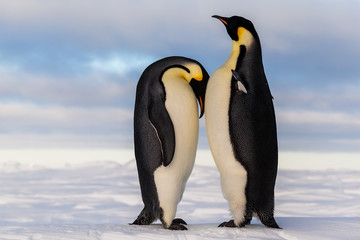 Fotobehang Pinguin Emperor penguin crying on friend's breast