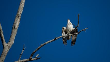 Osprey Sea Hawk Wings Spread, Drying Wings, Perched in Tree