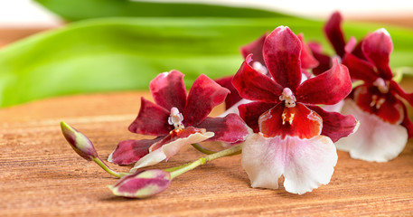 blooming twig red and white orchid flower, cambria with green le