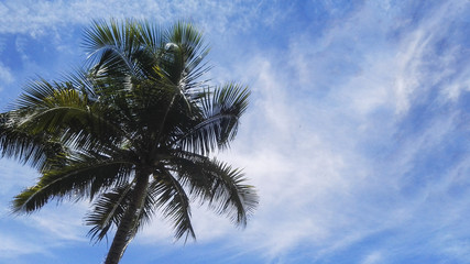 coconut plam trees with sky