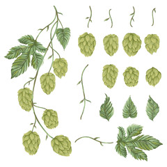 Branch hops plant. Collection floral design elements. Hop cones, leaves and branches. Isolated elements. Vintage hand drawn illustration in watercolor style.