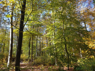 Buchenwald, Herbst, Rotbuche; Fagus, sylvatica