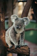 A cute Koala bear
