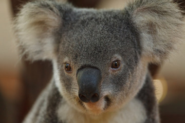 a portrait of cute baby koala bear