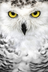 Close-up of the face of a snowy owl with yellow eyes