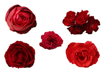 Roses heads set on white background