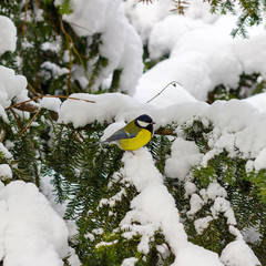 Great tit sits on spruce branch covered snow in winter forest.