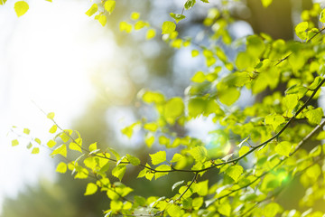 Bright spring background. Green young leaves and sun glare