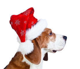 beagle in red Santa hat isolated on a white background
