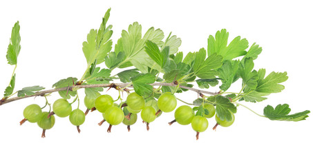 green gooseberry isolated long branch