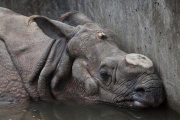 Indian rhinoceros (Rhinoceros unicornis).