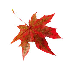 .Autumn red maple leaf. Isolated on white background.