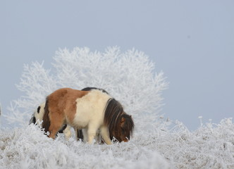 Winterfest, geschecktes Minipony mit dickem Fell im Raureif