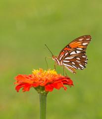 Beautiful Gulf Fritillary butterfly feeding on an orange Zinnia flower against green summer background