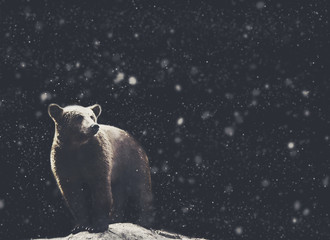 Bear winter portrait with dark and snow on the background. soft focus black and white picture