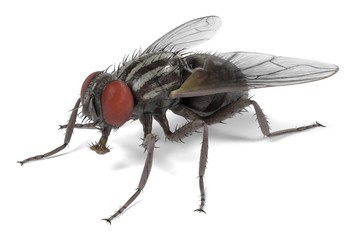 realistic 3d render of musca domestica - common fly Fotomurales