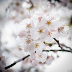 Tokyo Blossoms