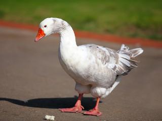 Big Grey Goose eating bread