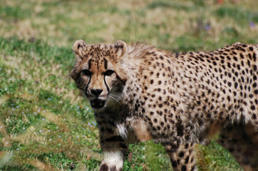 Gorgeous Face of a Cheetah with Distinctive Markings