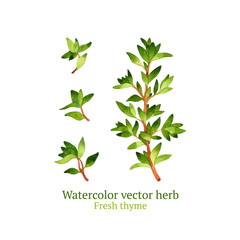 Watercolor vector thyme