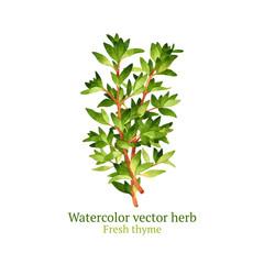 Watercolor vector thyme