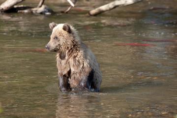nice cute cub fishing. Little bear looks fish.