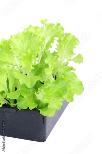 barquette de plants de salade batavia imagens e fotos de stock royalty free no. Black Bedroom Furniture Sets. Home Design Ideas