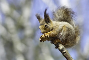 Squirrel on a dry branch eating a nut.