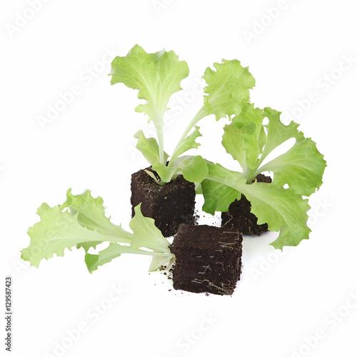 plants de salade batavia imagens e fotos de stock royalty free no imagem 129587423. Black Bedroom Furniture Sets. Home Design Ideas