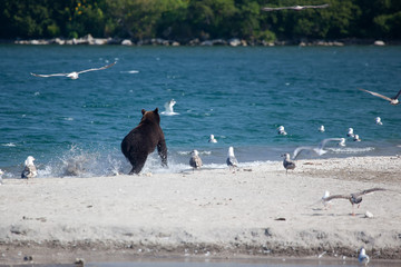 brown wild bear runs on a beach .Bear is on background water of lake, forest, gulls