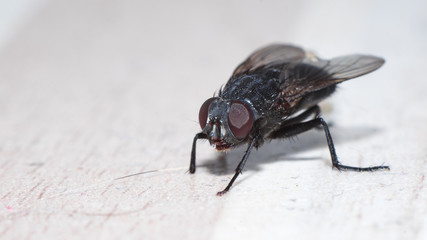 closeup view of housefly on the floor isolated, macro Wall mural