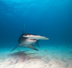Great Hammerhead shark.