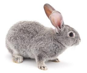 Grey rabbit.