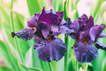 iris flowers, a beautiful spring flower bright color