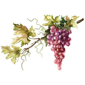 Watercolor illustration of grape branch.