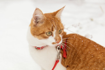 Red and white kitty cat in red collar covered with snowflakes