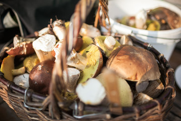 Forest picking mushrooms in wickered basket. Fresh raw on the table. porcini or White mushroom
