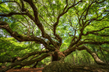 Under the canopy of the Angel Oak Tree