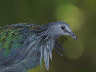 Nicobar Pigeon bird