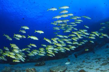 Fish school: Yellowfin Goatfish