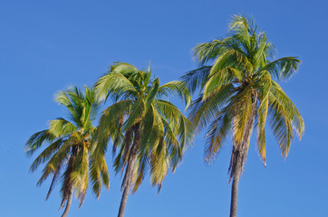coconut tree on sky background