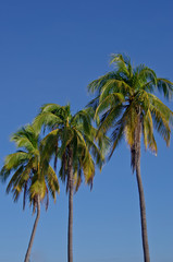 coconut tree in winter season