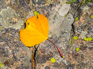 A detail of a yellow Aspen leaf on a granite boulder with green