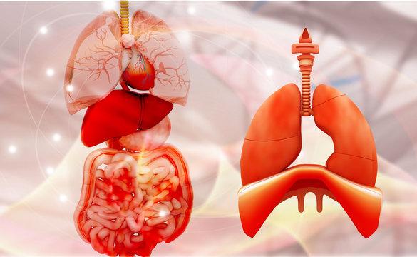 Human digestive system. 3d render..