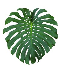 Monstera large tropical jungle leaf closeup to show Swiss Cheese design, isolated on white background