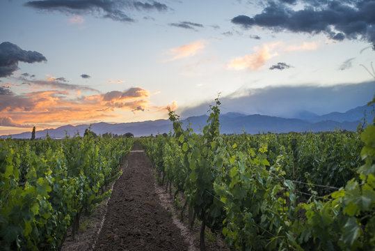 Malbec vineyards at the foot of the Andes in the Uco Valley near Mendoza, Argentina